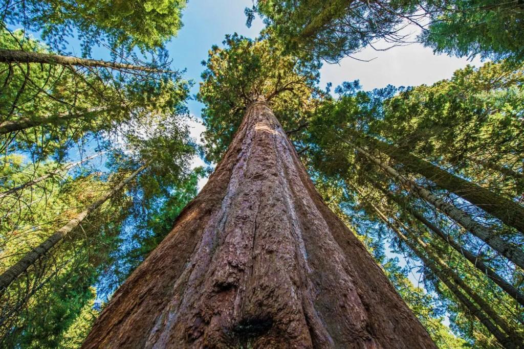 Fotografía dle árbol más alto dle mundo.