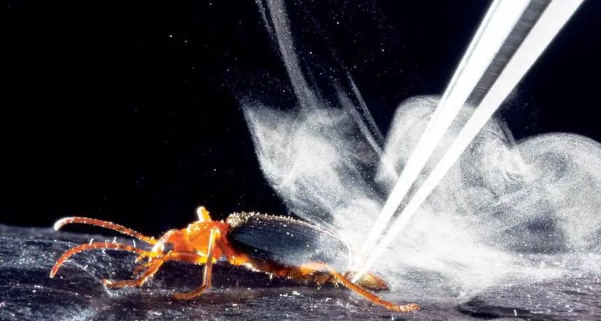 Fotografía de un escarabajo bombardero.