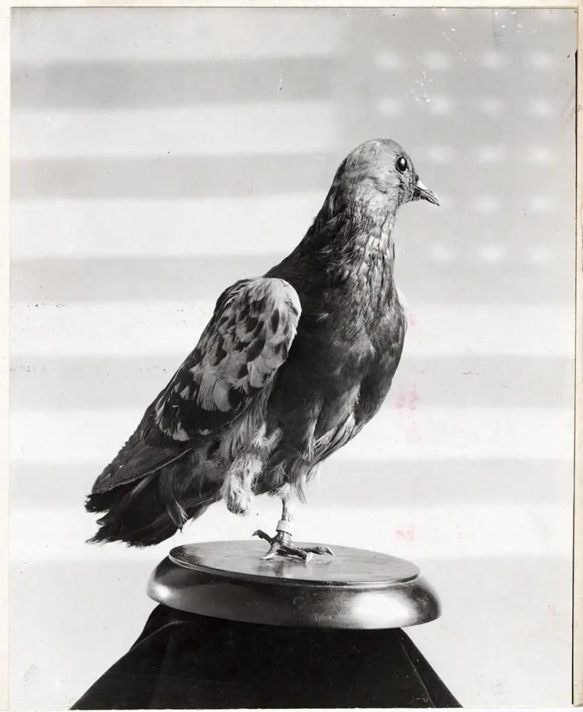 Fotografía de la plano Cher Ami uno de los mejores ejemplos de animales condecorados.