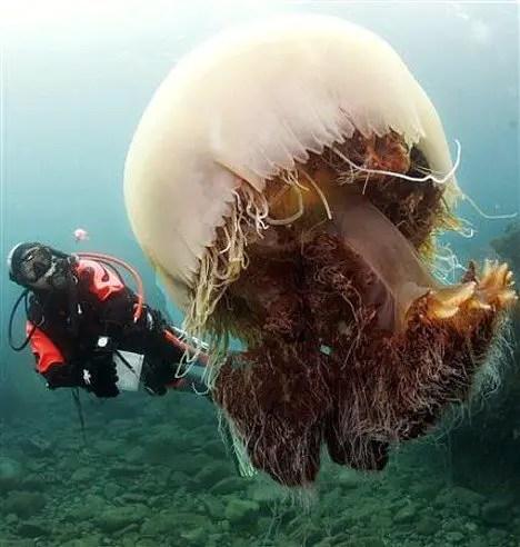 Fotografía de las medusas gigantes del Japón.