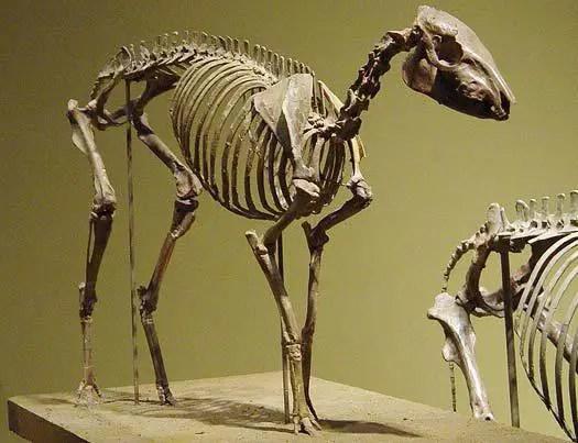 Esqueleto de un Hyracotherium.