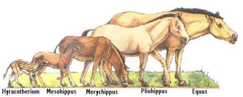 Esquema de la evolucion de los equinos