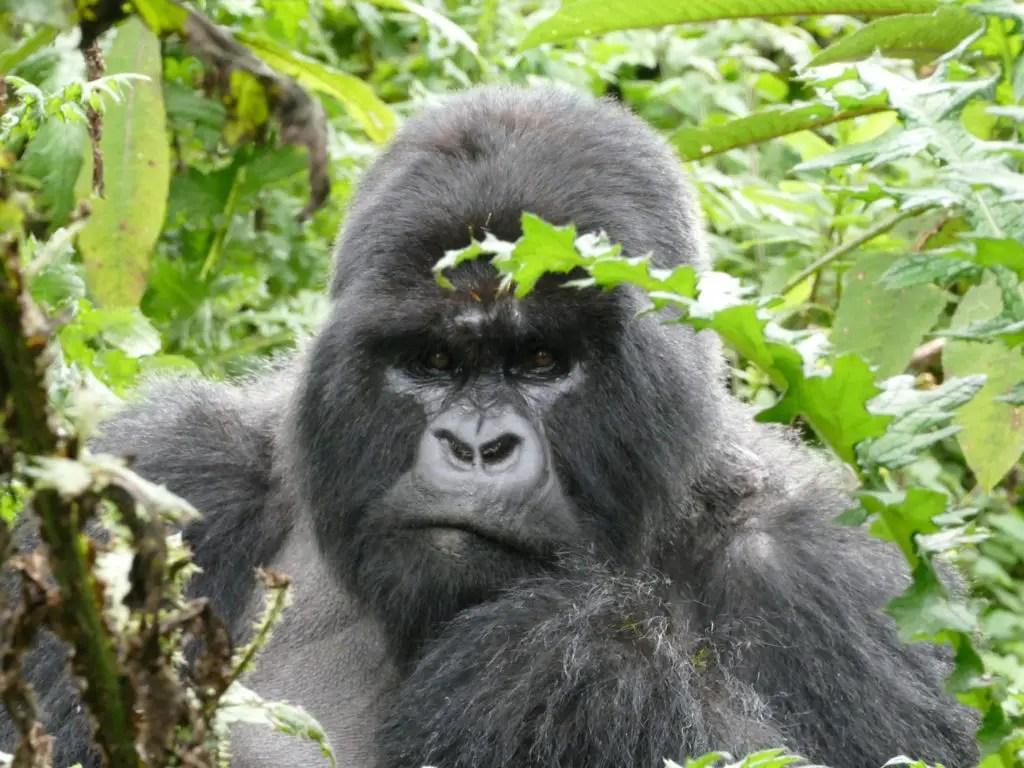 Gorila espalda plateada. Un encuentro con gorila de este tipo puede ser muy intimidante.