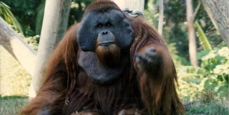 Fotografía del famoso orangután escapista Ken Allen.