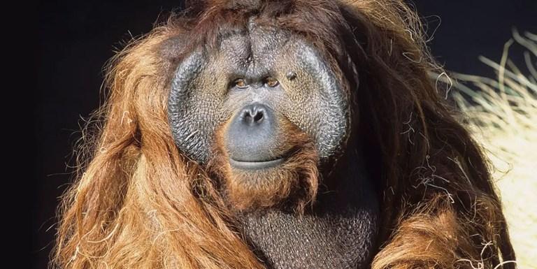 Ken Allen el Houdini peludo, el orangután experto en escapar del zoológico