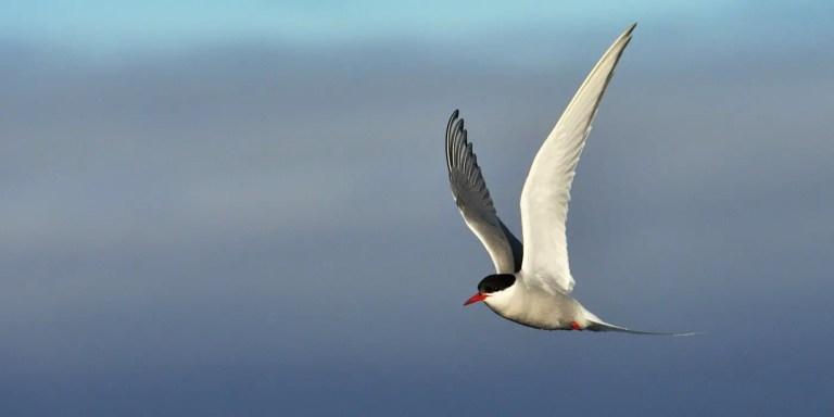Gaviotín del ártico en pleno vuelo.