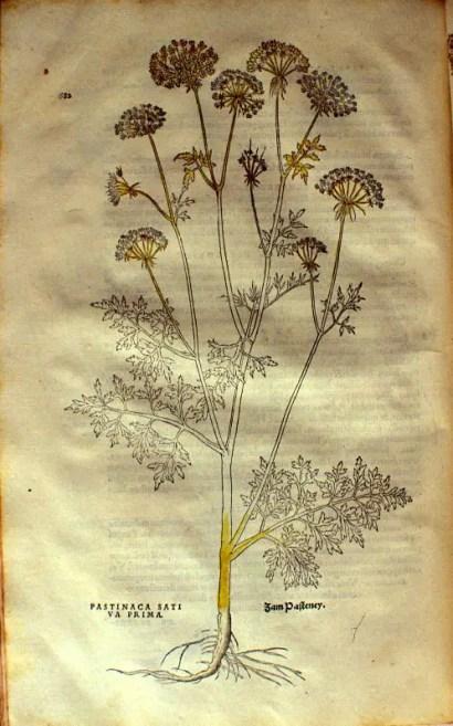 Ilustración de una zanahoria de la variedad Pastinaca Sativus Prima