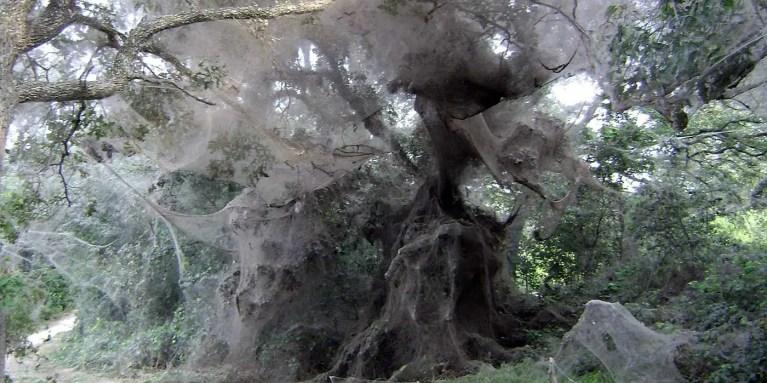 La telaraña de Tawakoni, la telaraña más grande del mundo