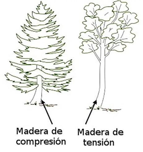 Comparación entre madera de compresión y tensión.