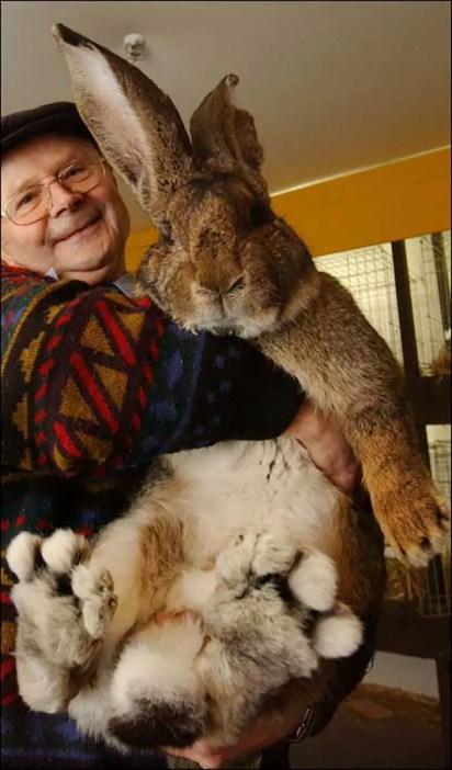Fotografía de Herman, el rey de los conejos gigantes, junto a su dueño Hans Wagner.