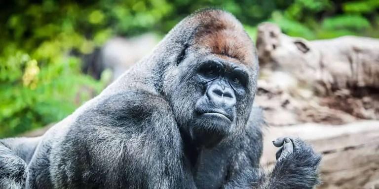 Encuentro en la naturaleza con una fascinante familia de gorilas