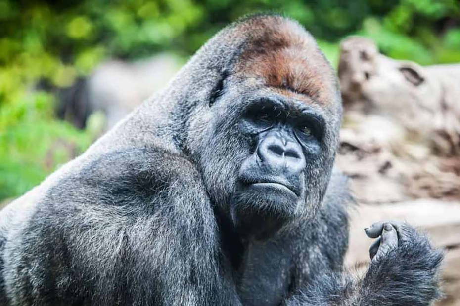 Gorila espalda plateada en Uganda.