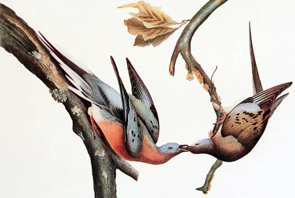 Ilustración de una pareja de palomas alimentándose mutuamente.