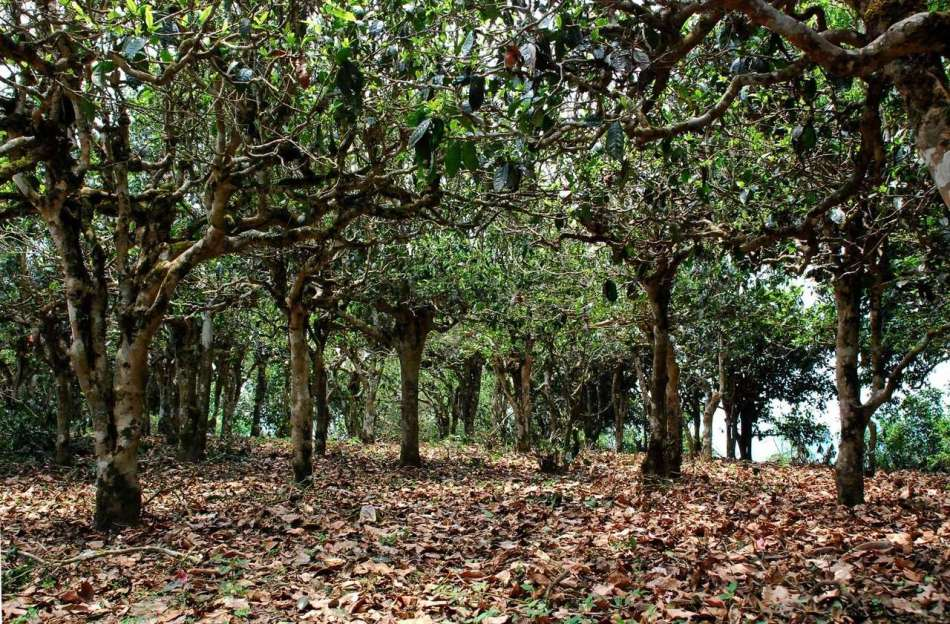 El bosque de té de Yunnan, China.
