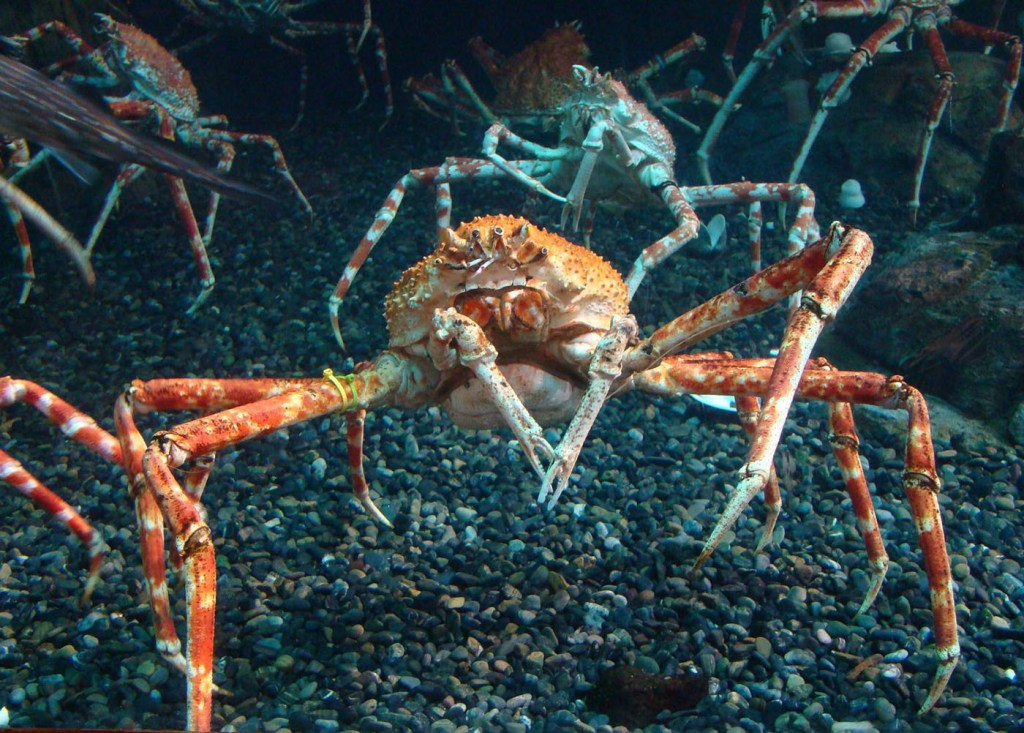 Grupo de Macrocheira kaempferi o cangrejo gigante japonés.