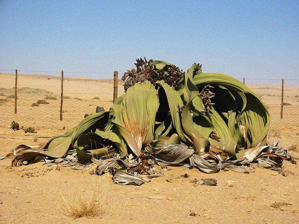 Una fotografía de una Welwitschia Mirabilis éste fósil viviente habita en África.