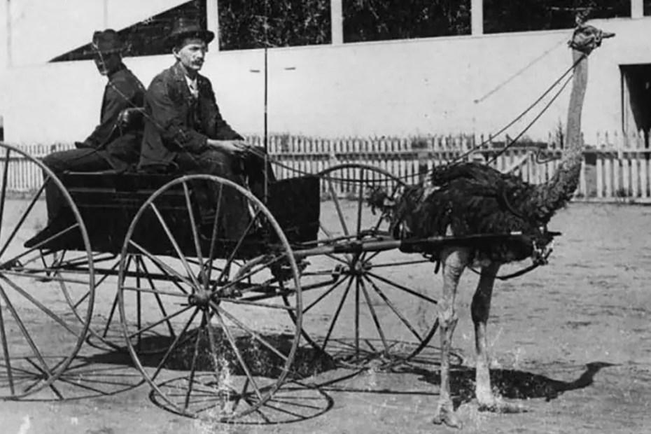 Un avestruz tirando de una carroza a finales del siglo XIX.