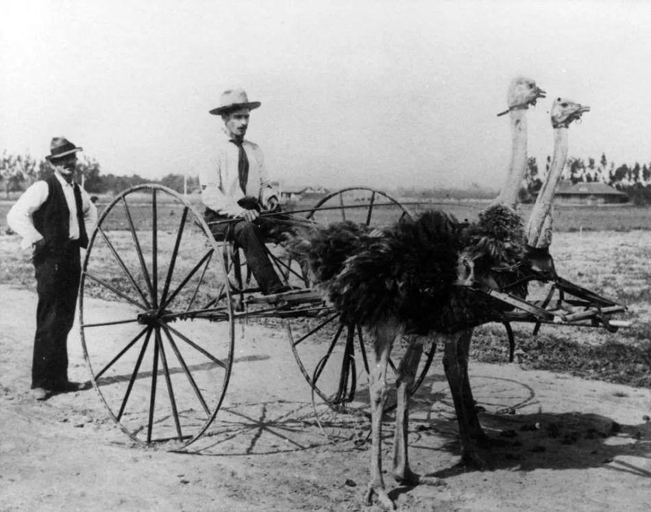 Una carroza tirada por dos avestruces, uno de los más singulares animales de tiro del pasado.
