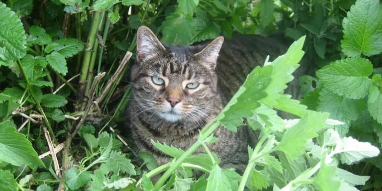 La nébeda o nepeta cataria, la planta que atrae y enloquece a los gatos