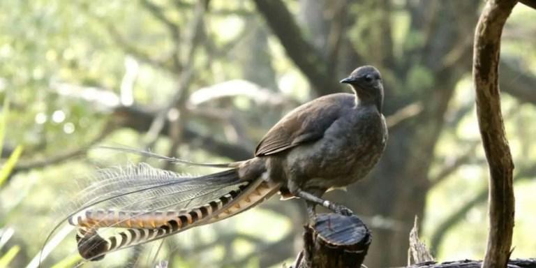 Ave lira real, el mejor pájaro imitador de sonidos del mundo