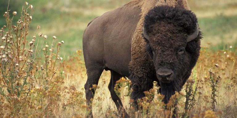 Cómo la cacería furtiva casi lleva al bisonte norteamericano a su extinción