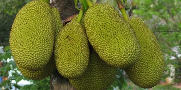 Fruto de la Yaca, el fruto más grande del mundo.