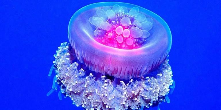 Las medusas coronadas, los seres más extraños del océano