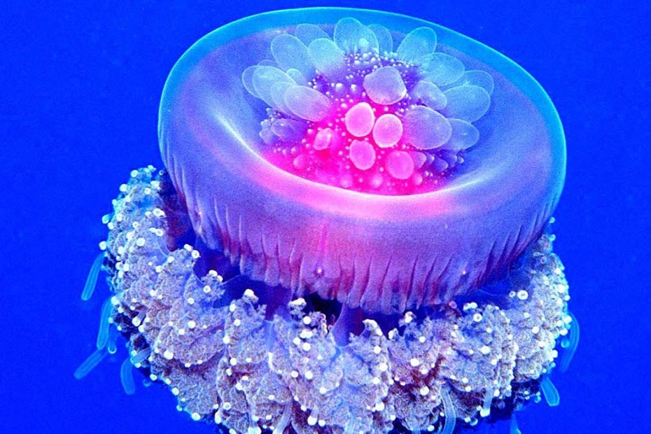Fotografía de una medusa coronada. Las medusas coronadas son uno de los seres más bellos del océano.