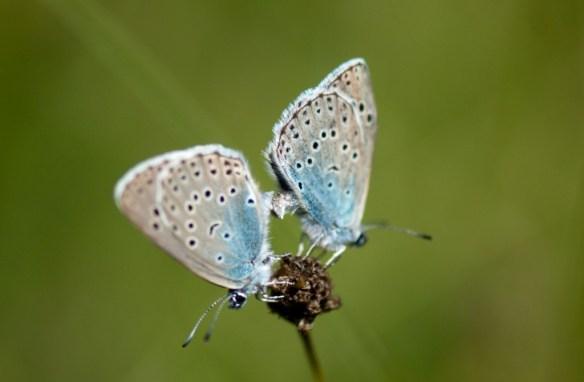 2 Svartfläckiga blåvingar under parning