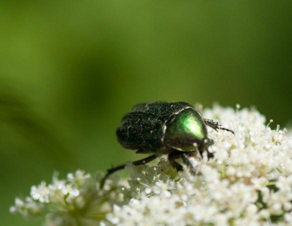 5 Gräsgrön guldbagge