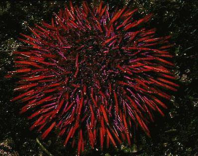 Red And Black Diamond Wallpaper Examples Of Phylum Echinodermata