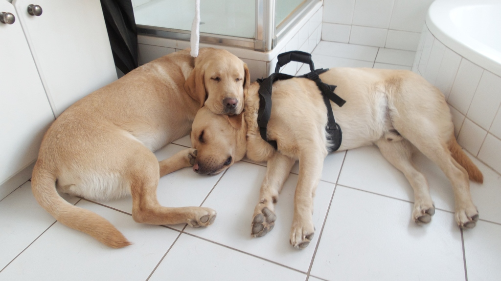 Guide-Dog-puppy Xander was very concerned about Riddick, and tried to stay close and comfort him after his seizures.