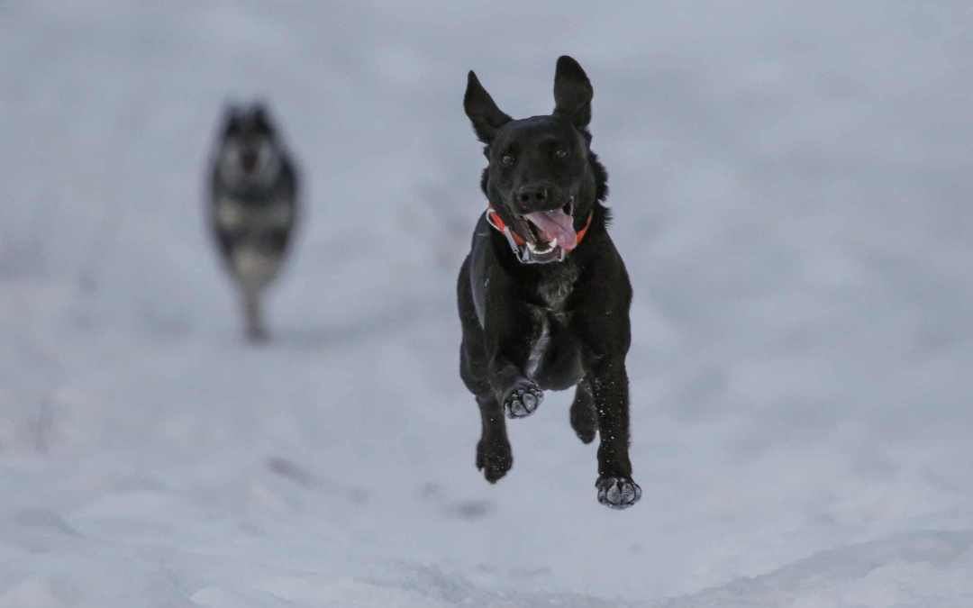 What to do if a dangerous canine approaches you?