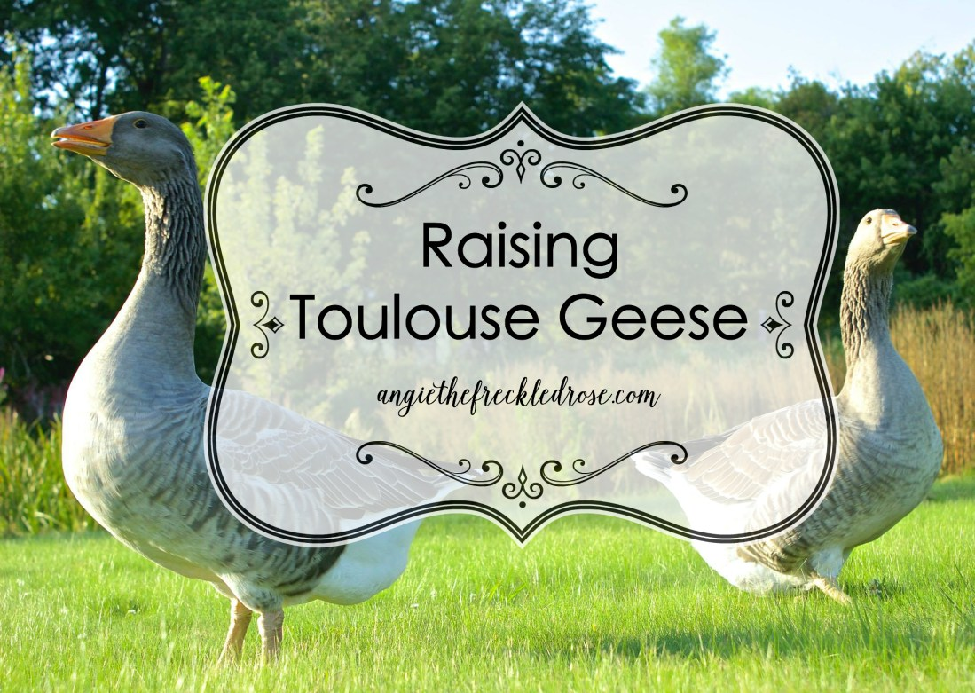 Raising Toulouse Geese Angie The Freckled Rose