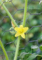 Cucumber Bloom