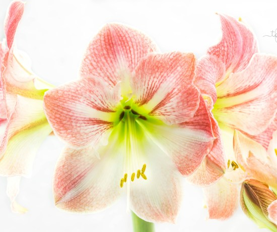 Guide To Gifting & Growing Amaryllis