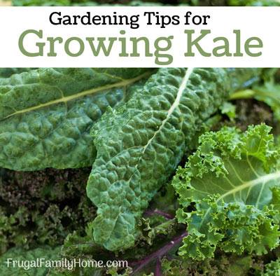 Gardening Tips for Growing Kale - Frugal Family Home