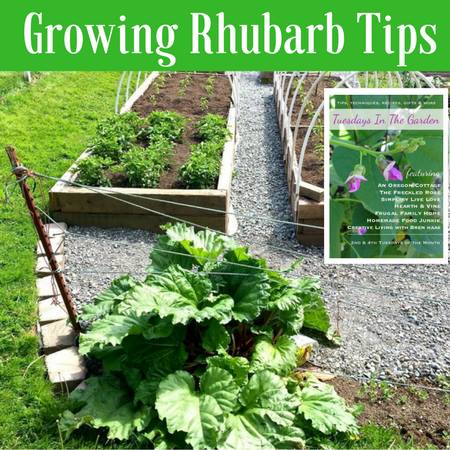 Growing Rhubard Tips - Homemade Food Junkie