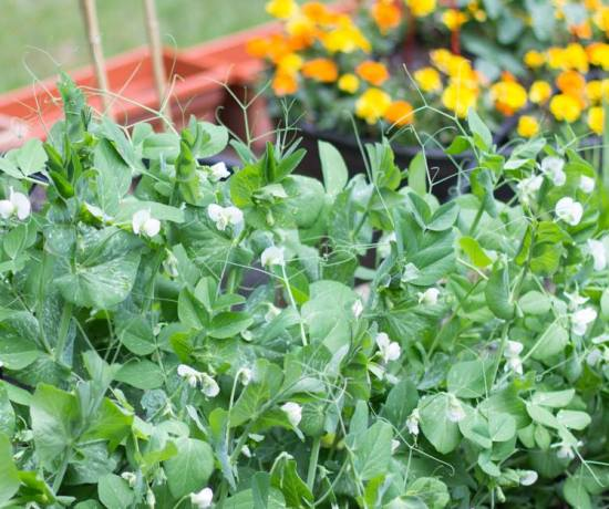 Tips for Growing Peas in Your Garden | angiethefreckledrose.com