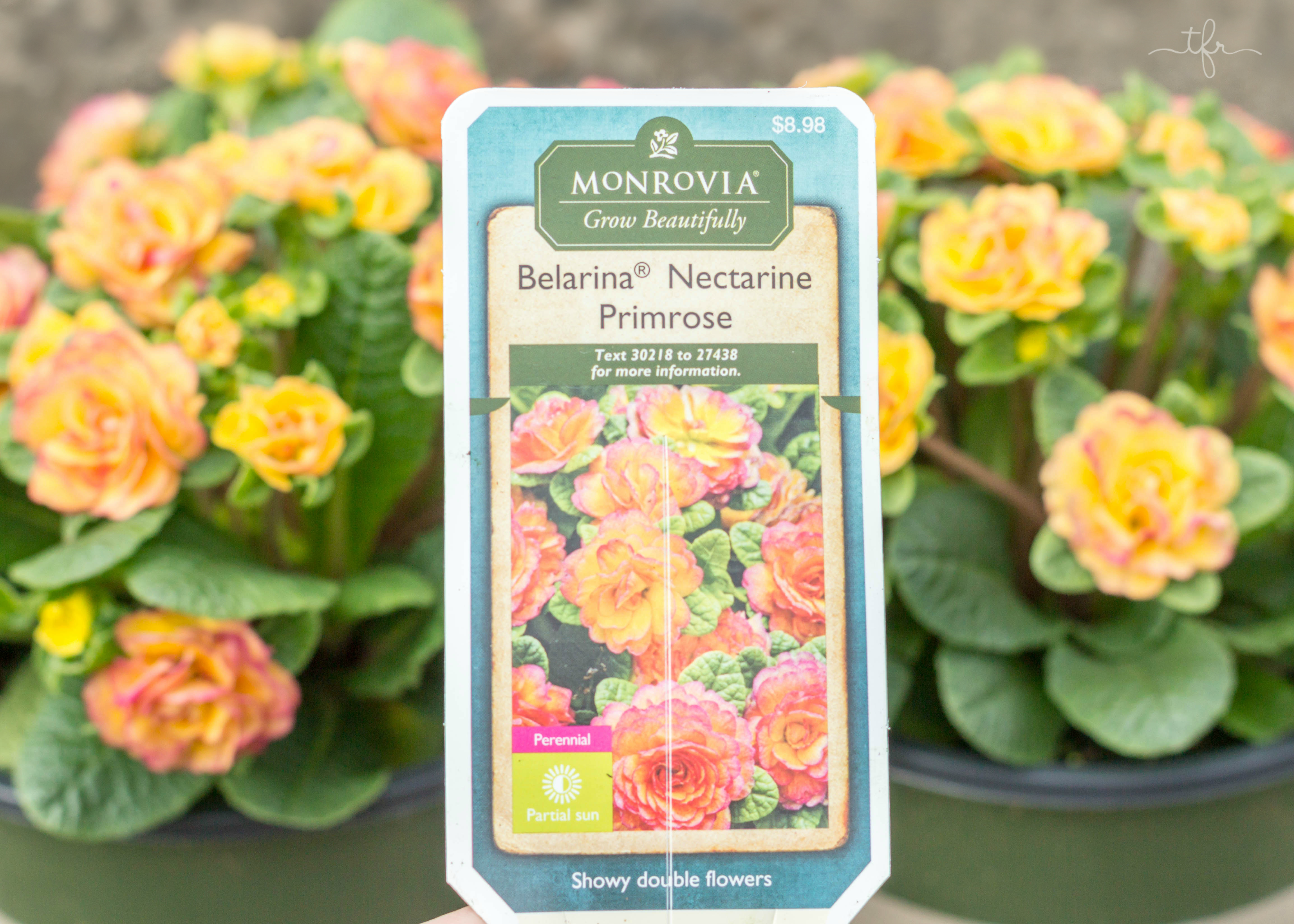 I decided to add some Belarina Nectarine Primrose, Belarina Valentine Primrose, and some Touch of Class Jacob's Ladder. These are all perfect plants to add a pop of color to your springtime garden. They are all shade loving perennials. I have one spot right on the edge of my garden that receives full sun, so I decided to add two Maché Ranunculus. You can purchase Monrovia plants for your garden online or at your local Lowe's.