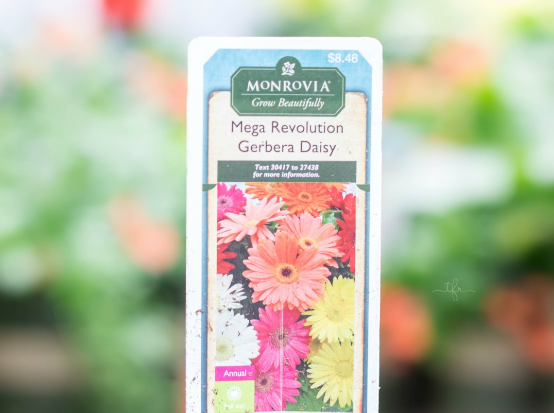 Colorful curb appeal with a container garden angie the freckled rose mega revolution gerbera daisy this annual plant is sure to add a pop of color to izmirmasajfo