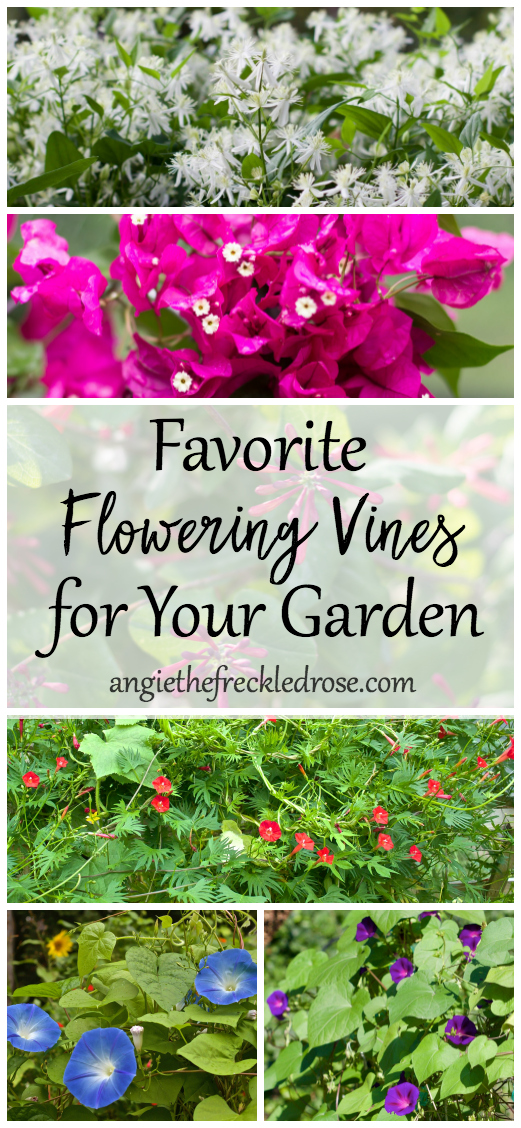 When I walk into a garden nursery, I always gravitate right to the section filled with vining plants. They add color, height or length to containers and most importantly can give you privacy in your yard. They are also great for hiding those ugly but necessary structures we all have around our home. Here is a list of some beautiful vines guaranteed to wow!