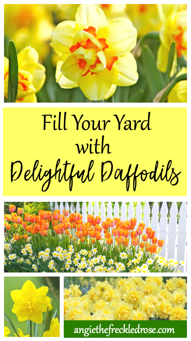 Daffodils are one of my favorite spring blooming flowers. They fill your garden with a golden glow, and are very easy to grow. Also known as narcissus, daffodils have a bevy of landscaping benefits. There are many different varieties to choose from. They are inexpensive, multiply over time, and are cold tolerant. That's only a few of the wonderful qualities this hardy bulb boasts.