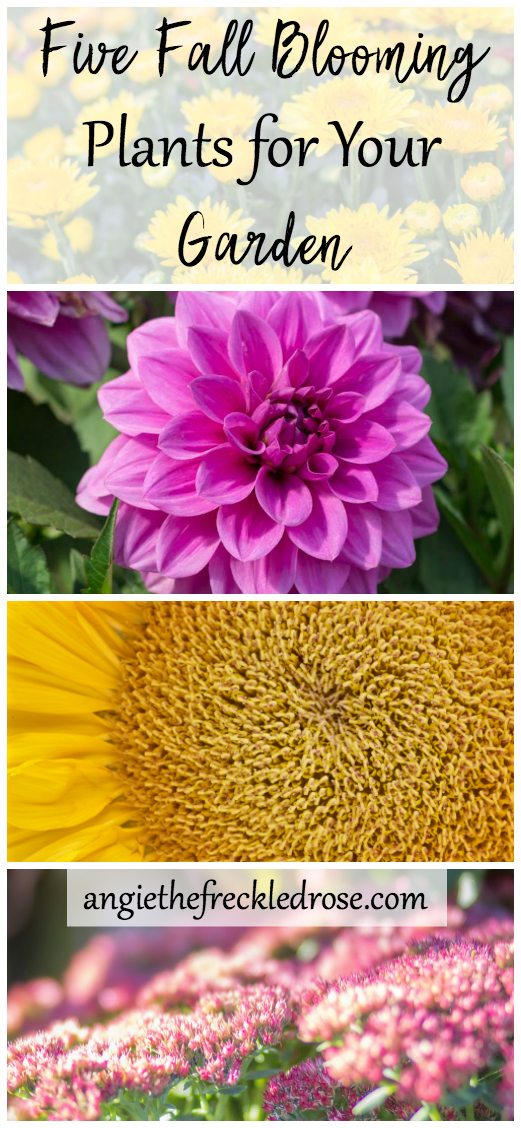 Five Fall Blooming Plants for Your Garden | Fall is on the horizon, and it starts to feel like it's time to put your garden to rest. Not so fast! Do I have some ideas for you! There are still some flowers and plants that are the autumn jewels of the garden world. From flowers to grasses, there are always ways to add some late season interest to your landscape. Some of my favorites actually don't start blooming until the fall. If you read this article and failed to purchase them early in the season, don't fret! You can usually find these fun varieties grown in containers at your local garden center. Let's get started!