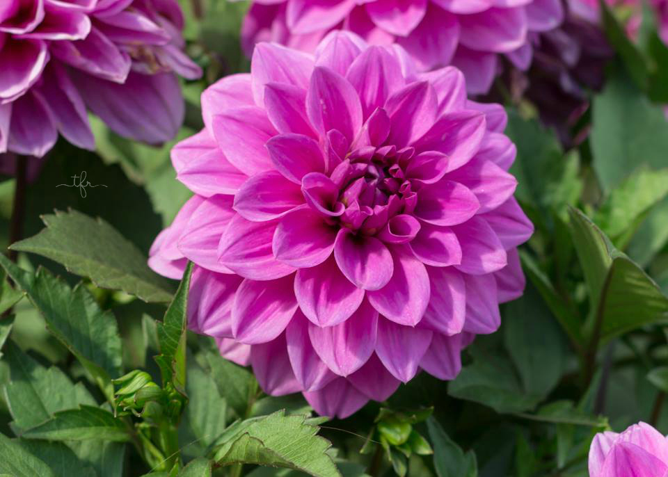 Five Fall Blooming Plants For Your Garden Angie The Freckled Rose