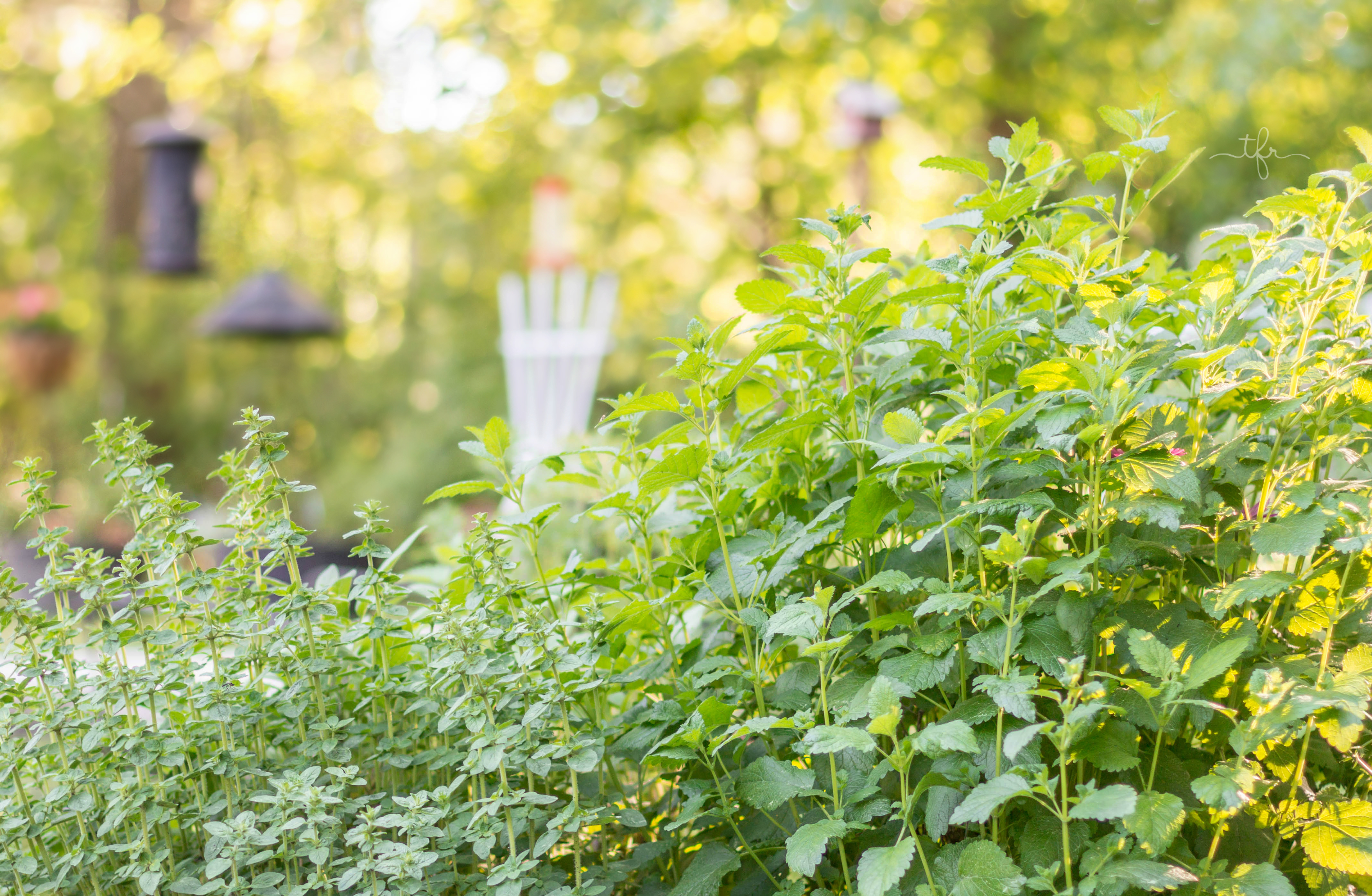 Calming & Stress Reducing Lemon Balm & Lavender Iced Tea | Lemon balm on the right, growing in the herb garden.