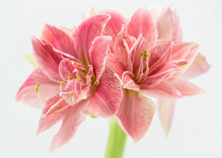Amaryllis - Grow Them Anytime, Anywhere and All Year Long | angiethefreckledrose.com