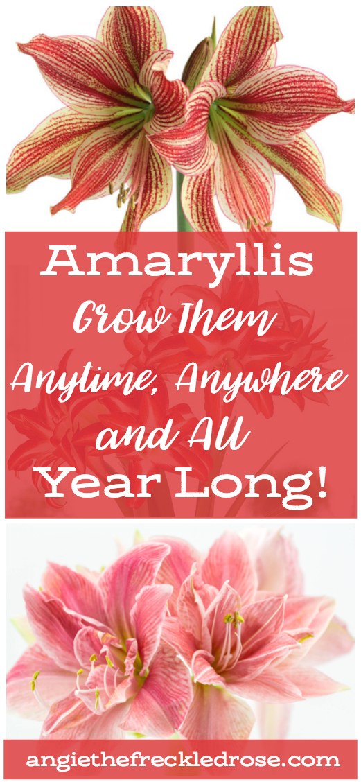 Amaryllis - Grow Them Anytime, Anywhere and All Year Long | When you think of an amaryllis flower, the first image that comes to mind may be the classic 'Red Lion' bloom. This flower is usually sold as part of a popular holiday gift kit. It's popularity stems from the fact that this bulb is very easy to grow and will definitely add that burst of color we all long for during the winter months | angiethefreckledrose.com