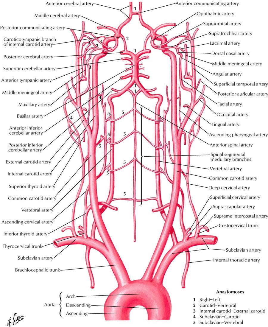 Basics Of Brain And Blood Supply Cranial Nerves Neurosurgery Freak