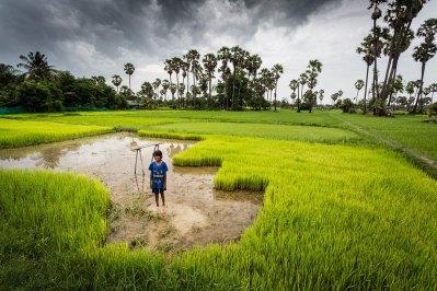 green-rice-field